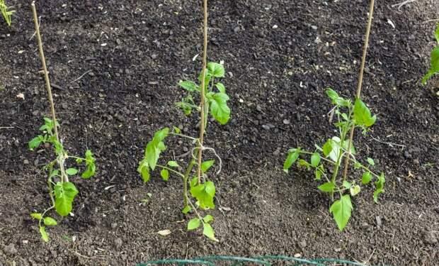Как посадить переросшую рассаду томатов: советы опытных огородников