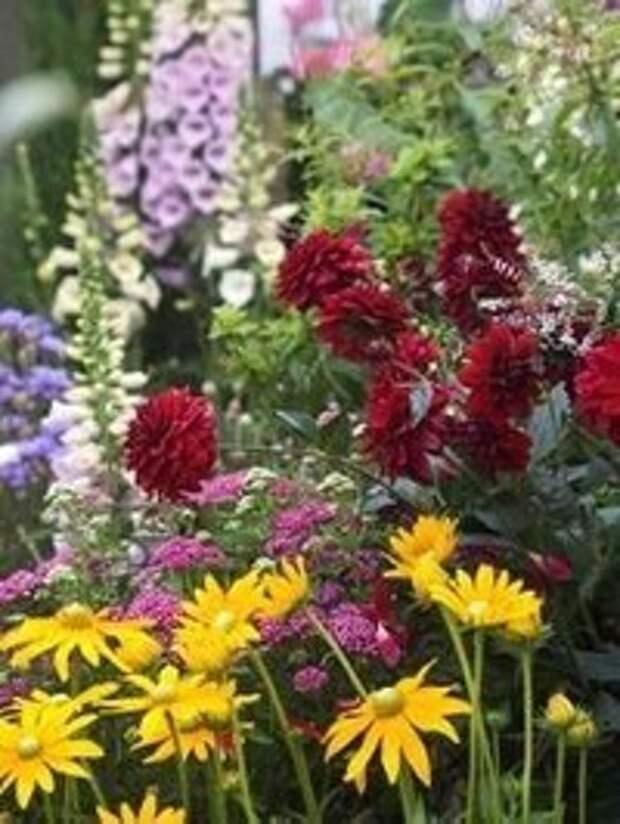 Георгины можно замечательно сочетать со следующими цветами