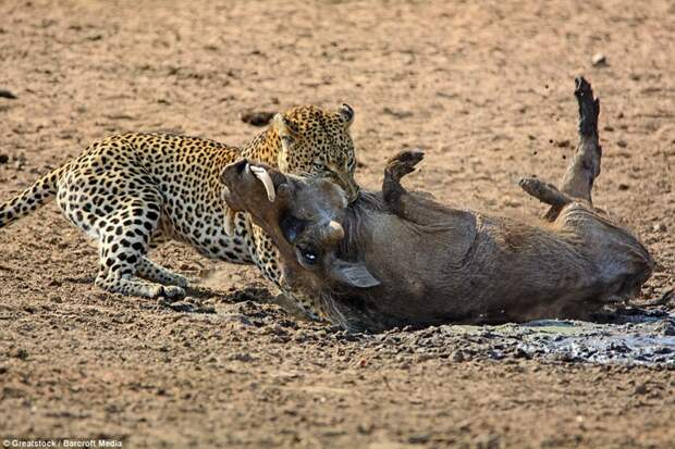 Невероятная опасность сна на территории обитания леопардов бородавочник, животные, леопард, охота, природа