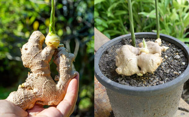 Имбирь на подоконнике: выращиваем для еды из магазинного корня