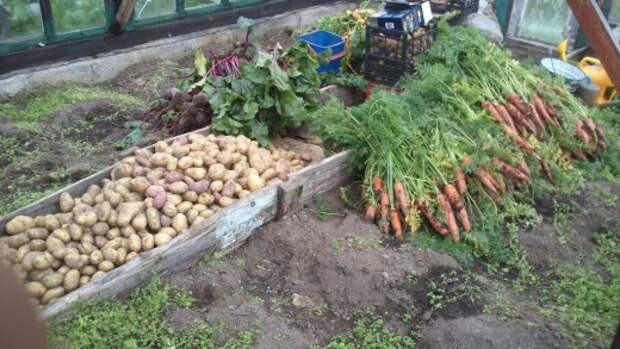 Морковь и другие овощи спасаются от дождливых осенних дней сентября 2014 года