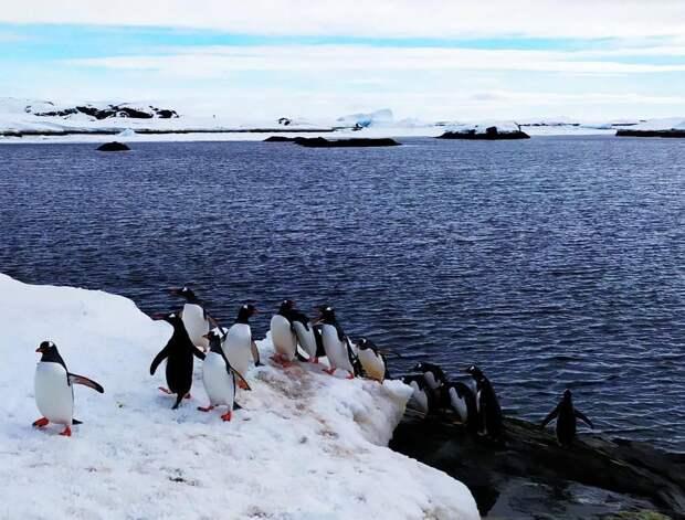 """""""Движуха по полной программе"""". В Антарктиде у украинской станции пингвины выстроились в очередь за рыбой. Фото"""