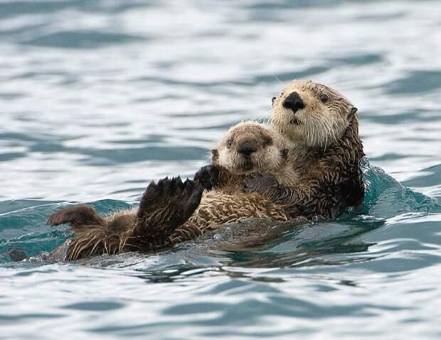 родители животные с их детенышами  выдра (2)