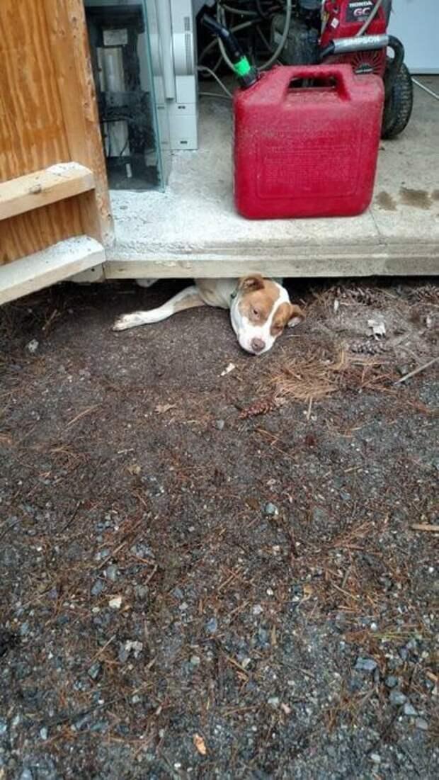 Беременная Тыква хотела сбежать из приюта, но застряла в щели из-за ЖИВОТА! Пришлось поднимать сарай…