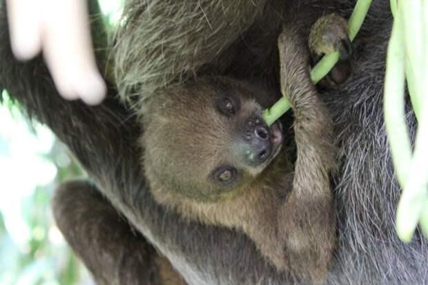 17 удивительных фактов о ленивцах 4