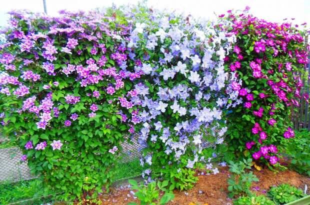 Клематисы с весны до зимы