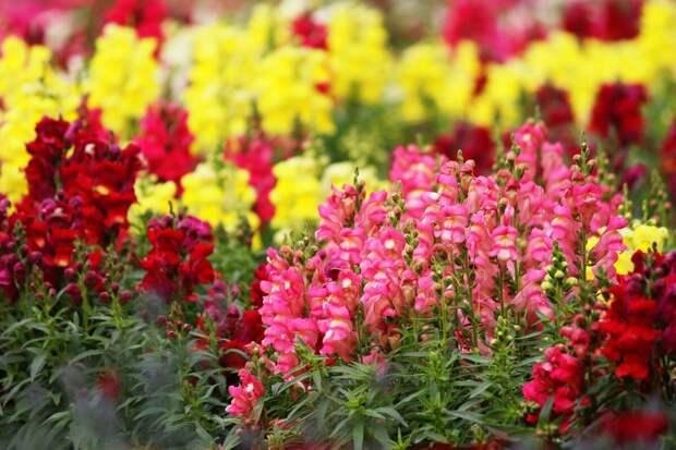 Подборка из 5 цветов, которые можно сеять сразу в грунт