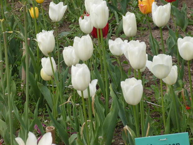 Тюльпан сорт Maureen
