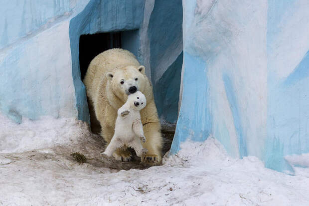 13 трогательных фотографий белых медведей