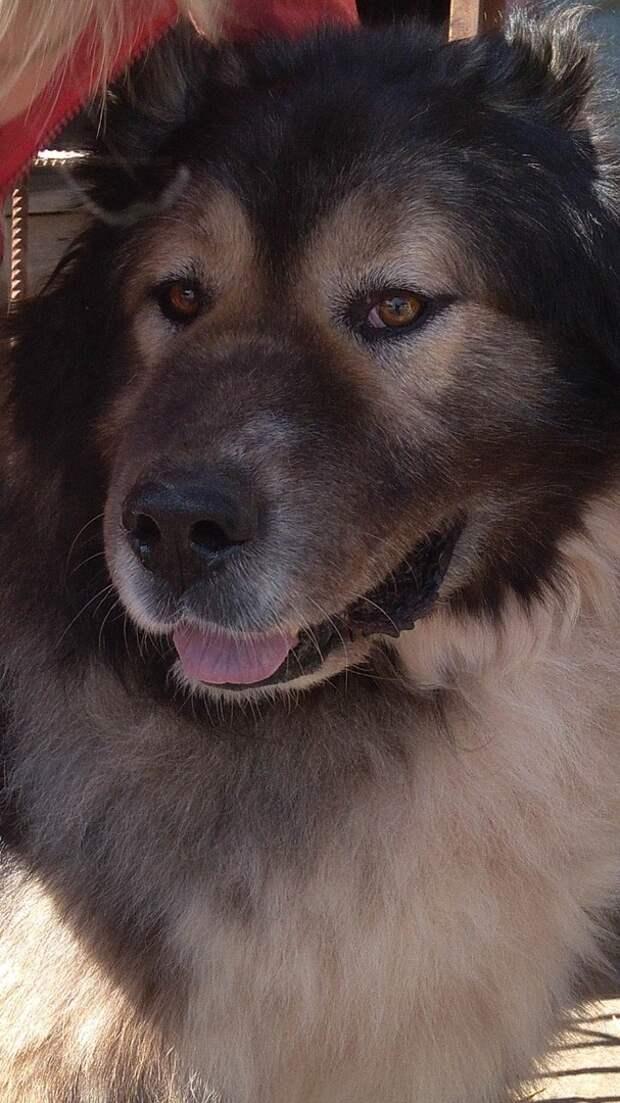 Большой пес не подозревал, что люди задумали открыть охоту на него волонтер, история, кавказская овчарка, приют, собака