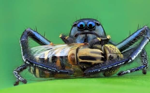 Паук вида Hyllus keratodes