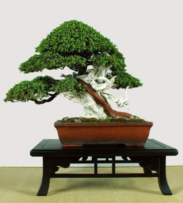 Как вырастить бонсай: японские заповеди.