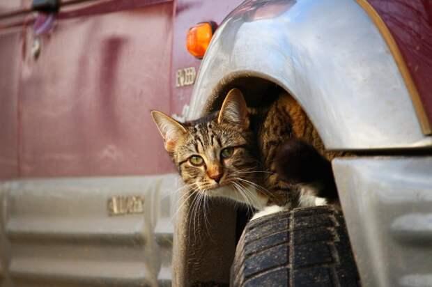 Кошки часто прячутся под припаркованными автомобилями. /Фото: get.pxhere.com