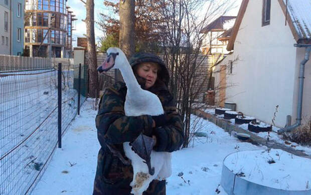 Спасение лебедей, попавших в беду