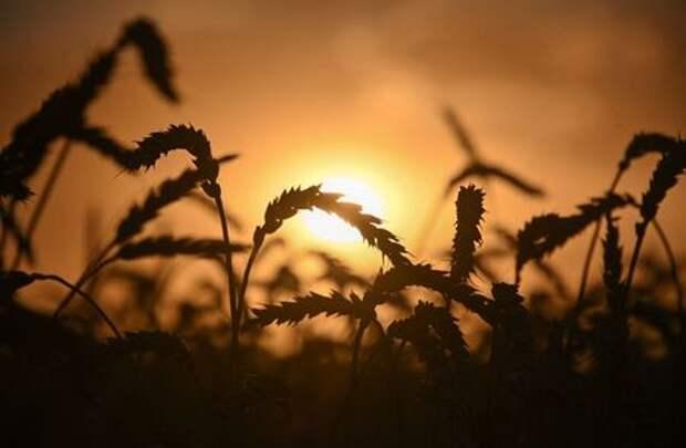 Ears of wheat are seen on sunset in a field of Triticum farm in Omsk Region, Russia September 16, 2020. Picture taken September 16, 2020. REUTERS/Alexey Malgavko