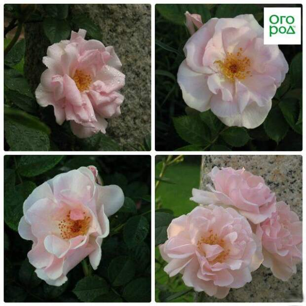розы лондонский сити