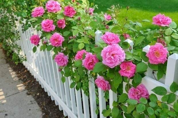 Особенности посадки роз