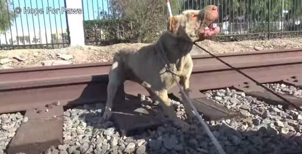 """Брошенная на рельсах """"агрессивная"""" собака после спасения превратилась в нежного домашнего питомца"""