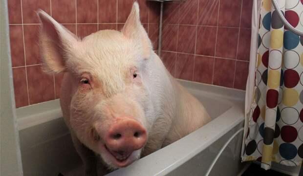 Эстер - домашняя свинья весом 300 килограмм девушки, животные, прикол, юмор
