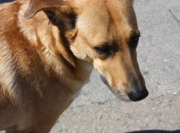 Собака в Коми спасла тонущую в реке девочку