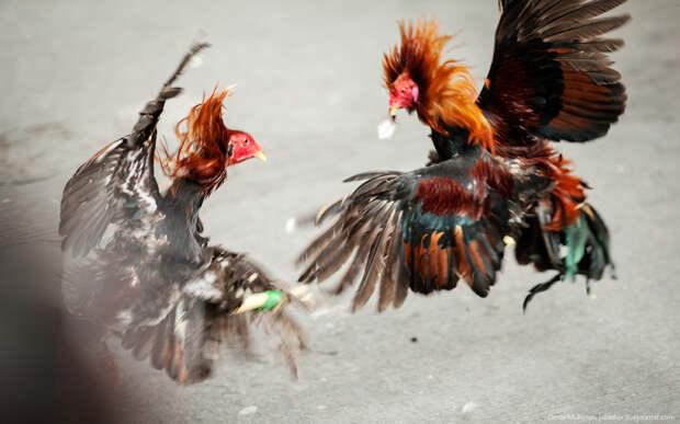 Петушиные бои на Филиппинах