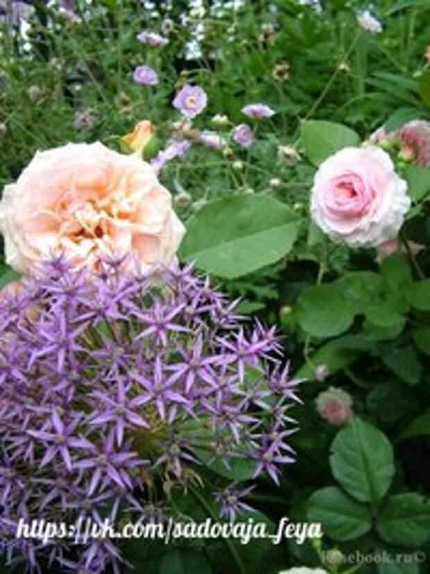 Соседи для роз