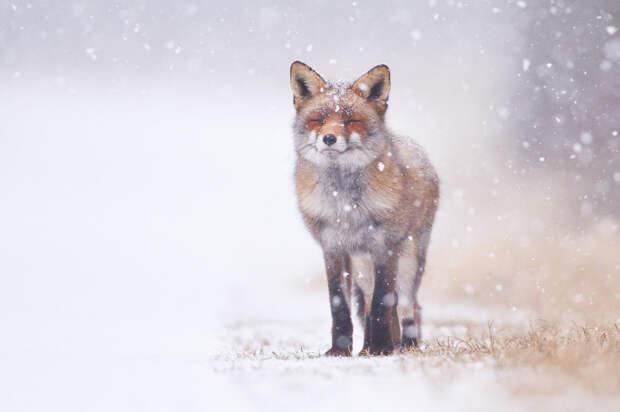 Лисы, снег... 11 фотографий о волшебстве зимы