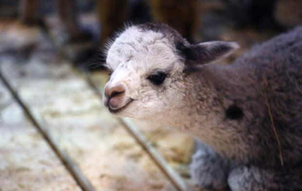 В Москве родился детеныш редкой породы альпака