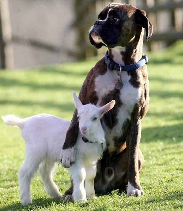 2. Покажи, где твои обидчики боксеры, боксёры, домашние животные, смешные фото, смешные фотографии, собаки, собаки и хозяева, четвероногие питомцы
