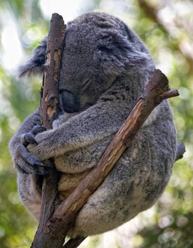 Коала - сумчатый мишка