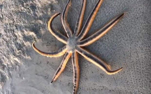Обнаружена морская звезда, которая умеет ходить