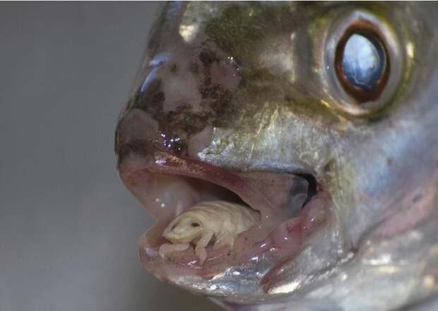 Мокрица — паразит, который присасывается на язык рыбам, сжирает его и сам становится языком. животные, интересное, удивительное, фото