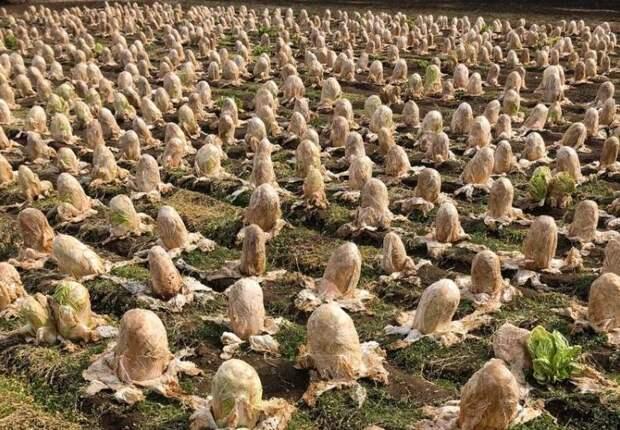 Японский фермер обнаружил на своем поле десятки «яиц инопланетян»