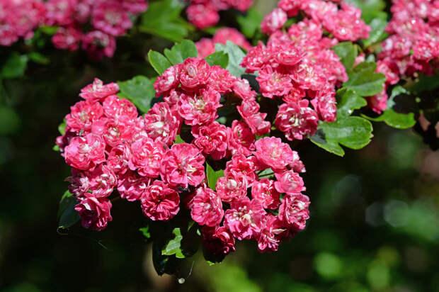 Цветущий боярышник весна, деревья, цветы