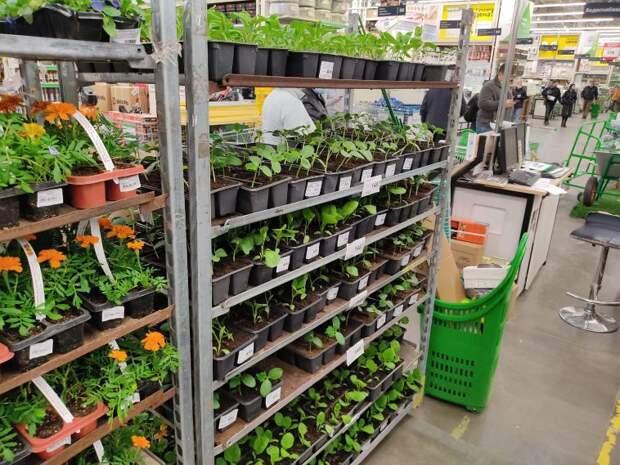 Что выгодней — вырастить рассаду или купить? Сравнил оба варианта и решил поступить по новому.