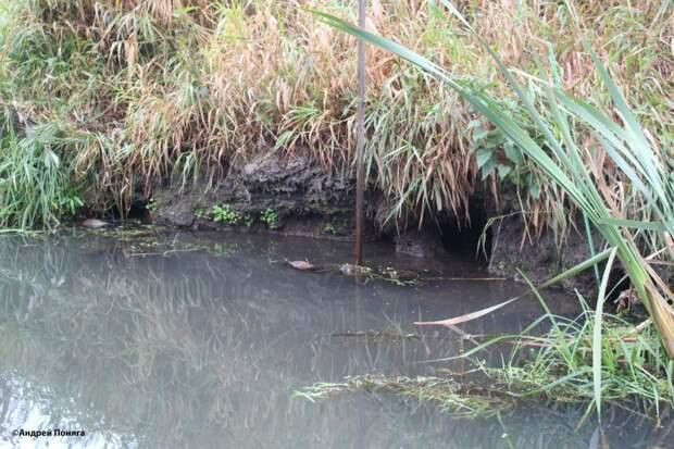 Осенний промысел ондатры проходными капканами