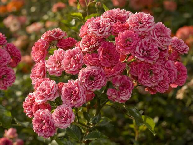 Rosa (Netherlands) - Delivery flowers and gifts in Ukraine