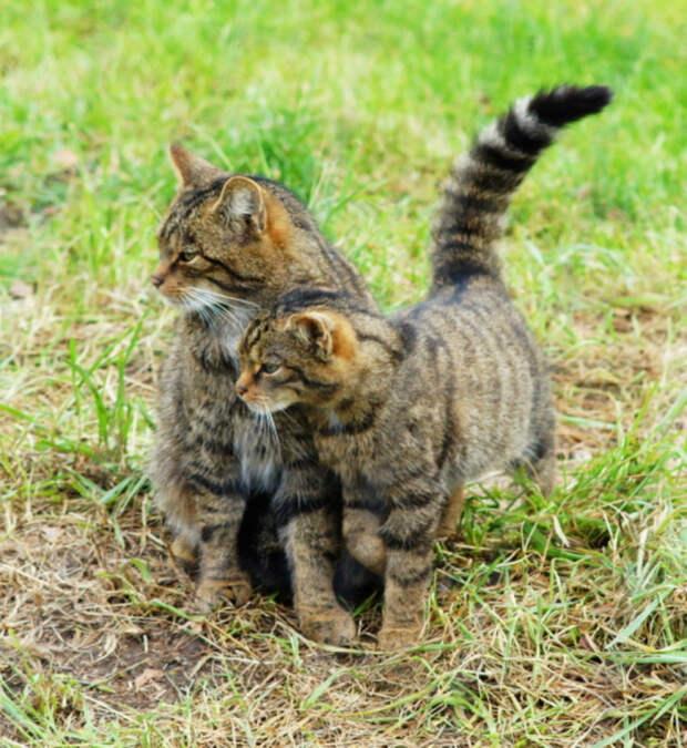 25. Шотландский дикий кот кошки, природа