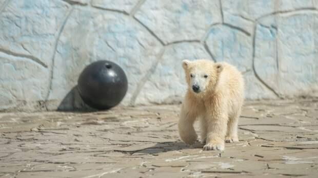 Пол белого медвежонка выяснили взоопарке Ростова через 5 месяцев после его рождения