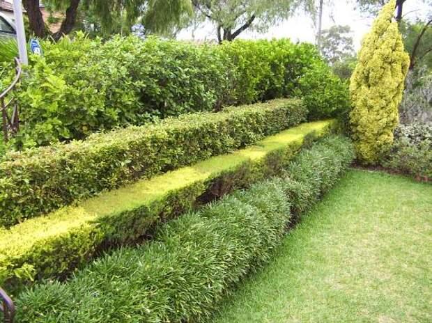 Живая изгородь, вертикальное озеленение. Кактус