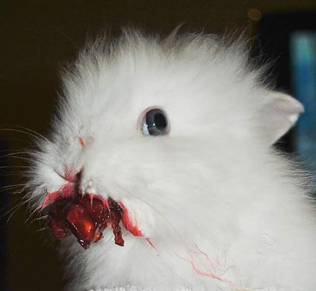 Кролик ест вишню животное, фрукт, ягода