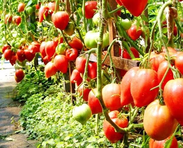 помидоры Чудо земли на грядках