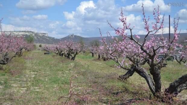 Ради этого приехали: туристы восхитились персиковыми садами в Крыму