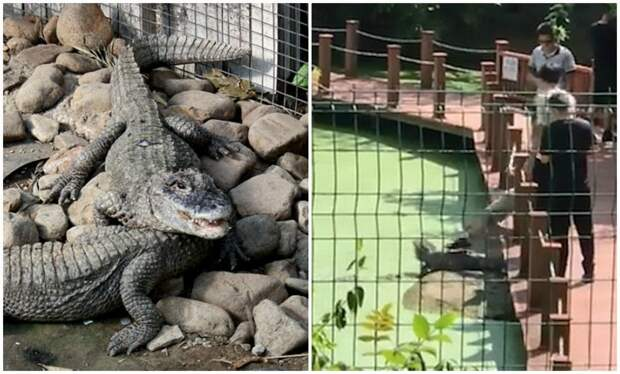 В китайском заповеднике турист несколько раз ударил аллигатора ногой