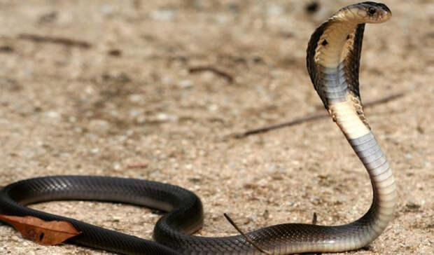 Азиатская кобра Смертей в год: более 50 000 Несмотря на то, что азиатская кобра не считается самой ядовитой змеей на планете, именно ее укусы остаются самыми смертоносными. Из 65 000 смертельных случаев за год, более пятидесяти тысяч приходится как раз на этот вид.