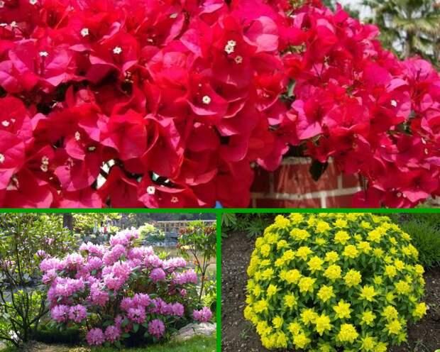 Лучшие зимостойкие кустарники, цветущие все лето