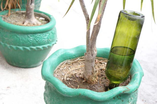 Воткнув бутылку с водой в горшок с растением можно на некоторое время забыть о поливе вазона.