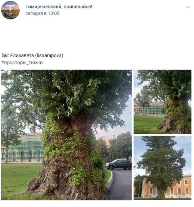 Фото дня: древний тополь на территории Тимирязевки