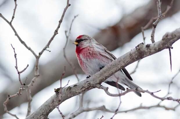 Пернатые «полярники» - какие птицы остаются зимовать