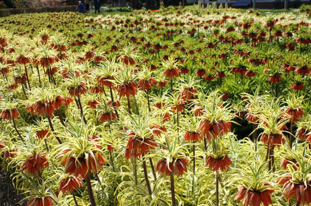 Рябчики – королевская красота для романтического сада